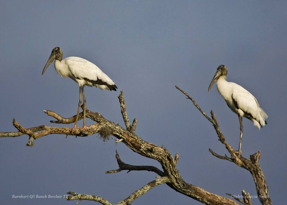 A pair of visiting wood stork - just one example of the magnificent birds that migrate through the ranch (photo by Sylvia Garcia Smith)