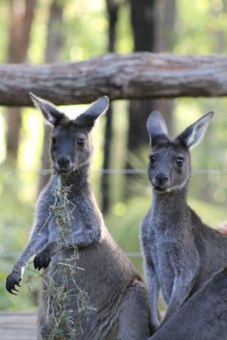 Kangaroos in the backyard - daily