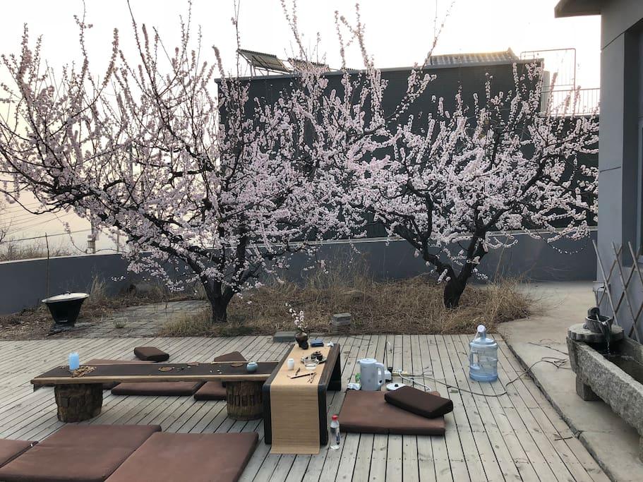 春天在院子里的露台上,杏花开满了枝头,坐在杏花树下,约上几个好友饮茶赏花也是极好的