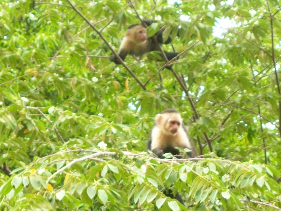 White Face Monkeys on Property