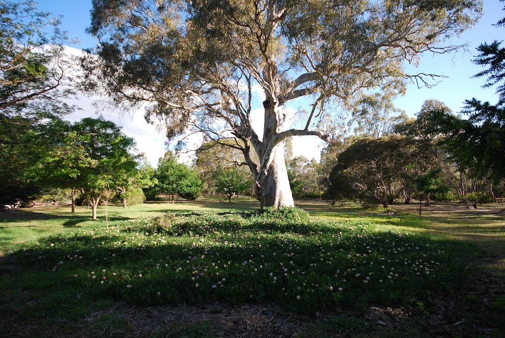 Beautiful Gumtree on our 50 acre property