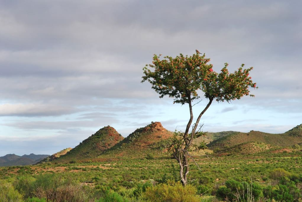 The typical Klein Karoo landscape with it's rich indigenous flora and voluptuous koppies