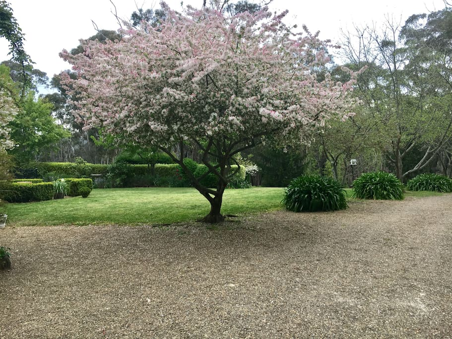 The garden with crabapple trees in blooming in spring time