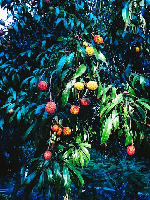 *Updated 20/03/18 this year our lychee tree can produce fruit by nature. After no fruit for many years <3