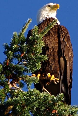 One of our resident Bald Eagles