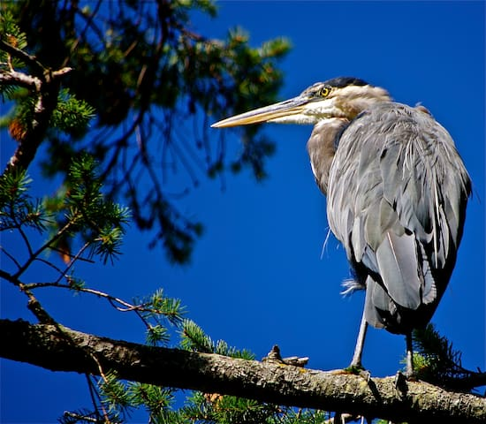 Bill is the resident Great Blue Heron and he is magnificent!