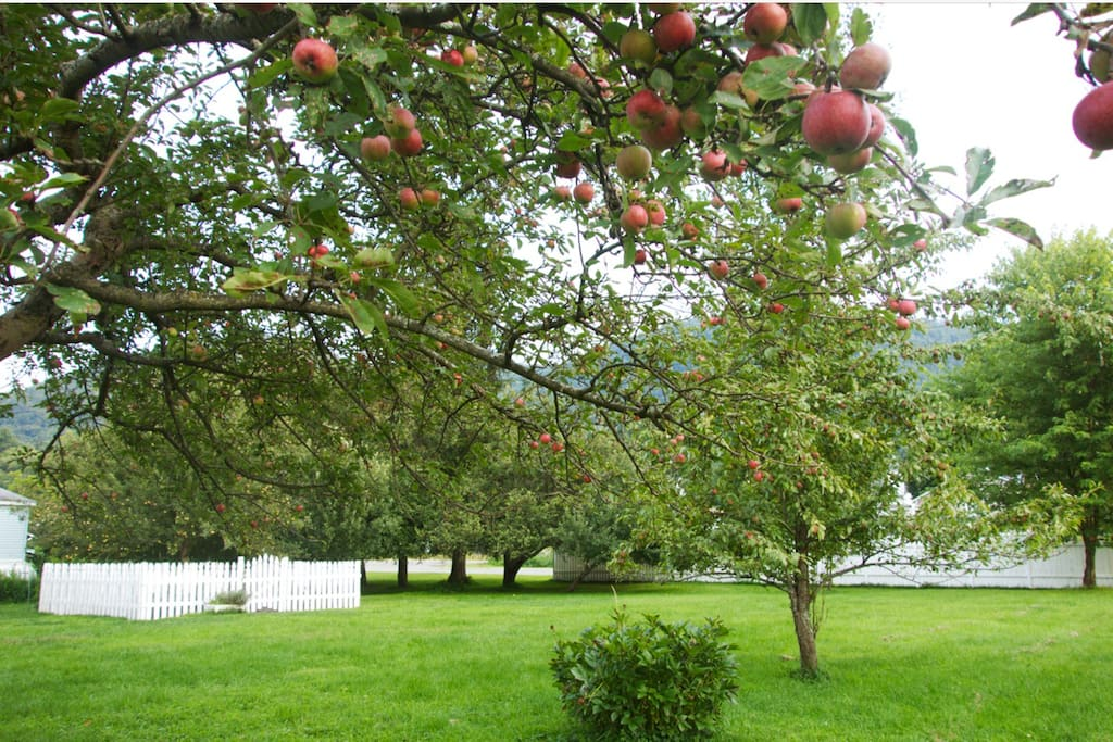 Delicious Fall Apples to pick fresh from our yard