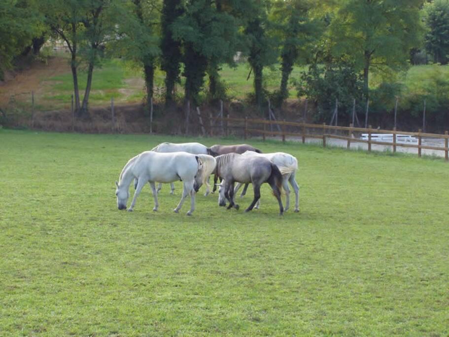 i nostri cavalli Lipizzani
