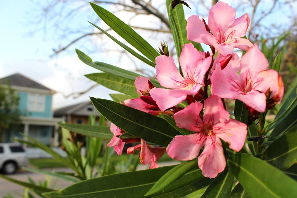 Since 1910, Galveston has been known as The Oleander City.