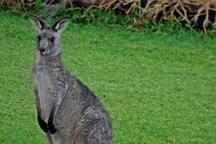 Kangaroo in backyard