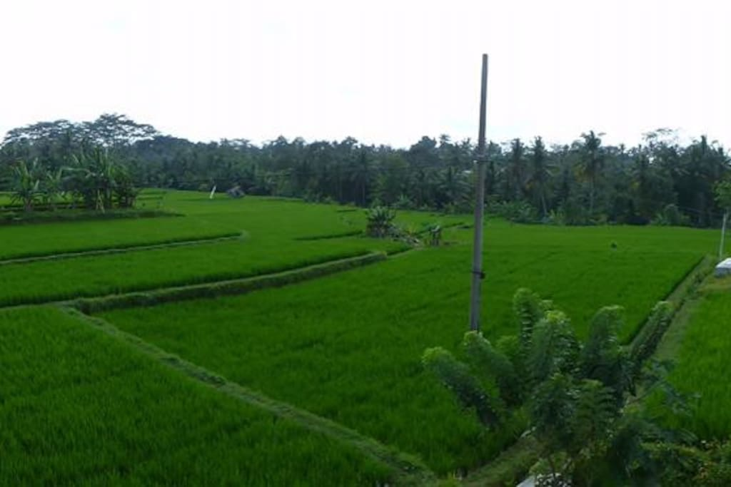 Rice fields view from Balcony