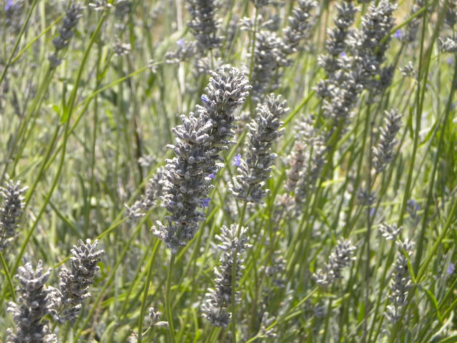 Ears of our lavender