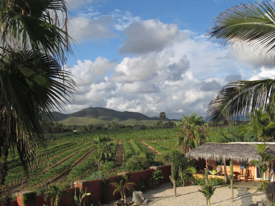 Gorgeous setting, beach, oasis, papaya plantation