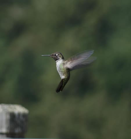 A female Anna Hummingbird. We have about 200-700, depending on the time of year.