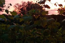 Sunset. And vines.