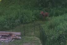 Moose Calf by Firepit