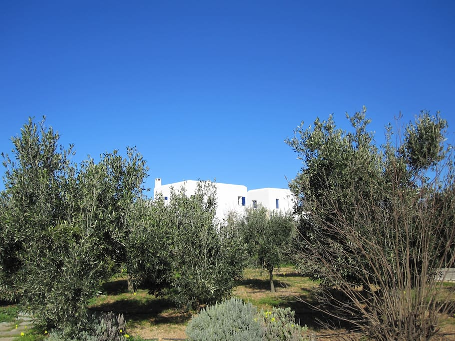 villa landscape with olive trees