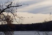 Early winter swans landing on the lake.