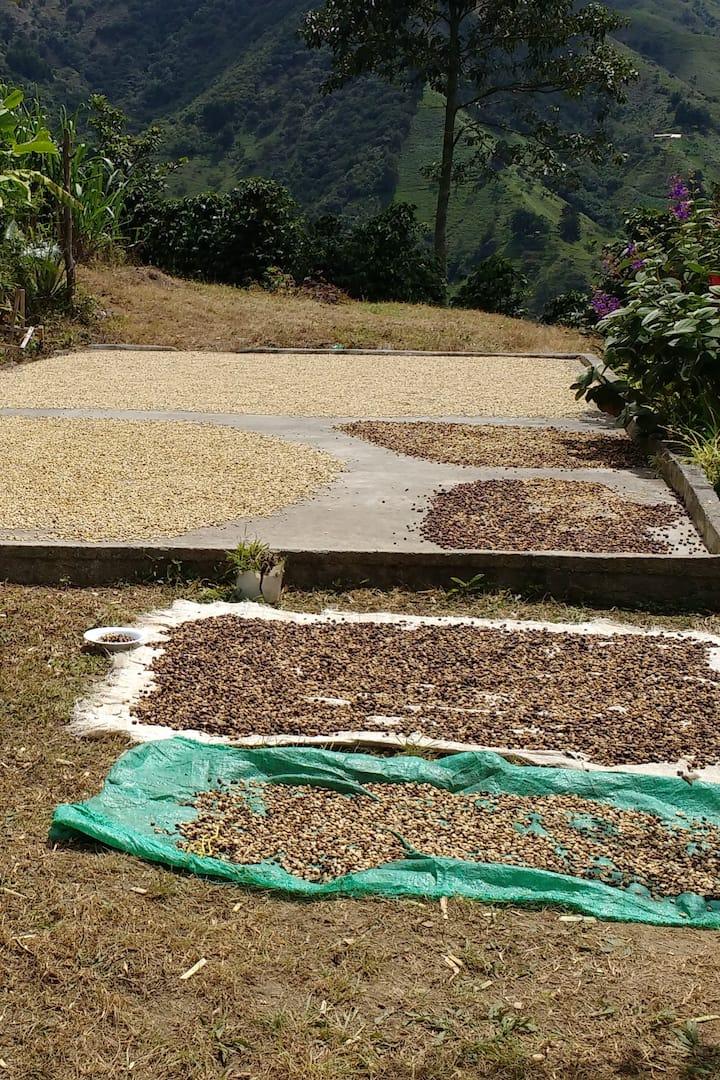 Secado del café al sol en patios y lonas