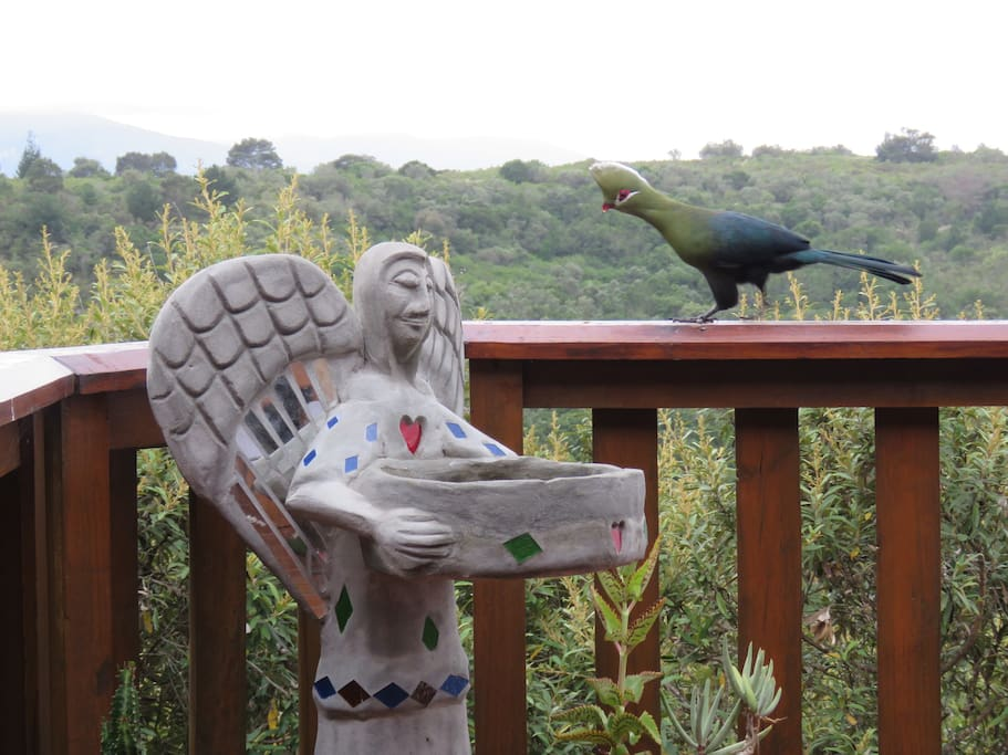 One of the regular visitors to the bird bath - a Knysna Lourie