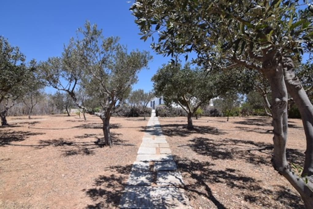 Olive tree pathway to the villa