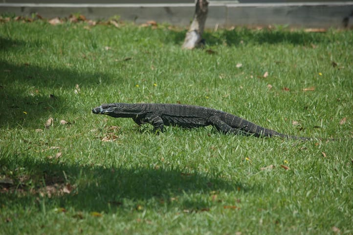 Lace Monitor Lizard - often seen in the warmer months and can be over 1m long nose to tail!