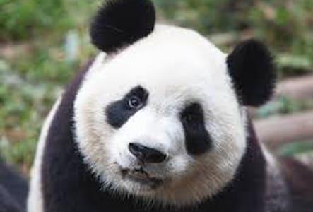 Panda - Daire