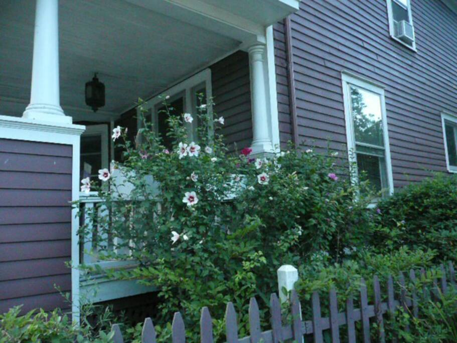 Rose of Sharon Outside of house