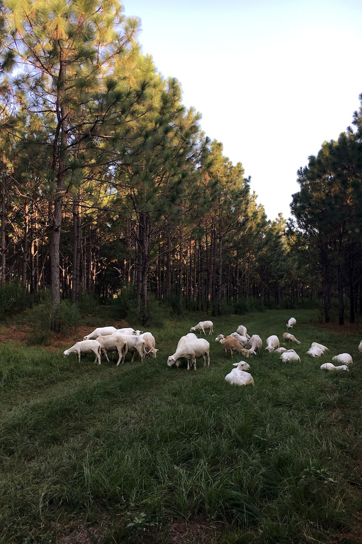 Sheep and Longleaf Pines