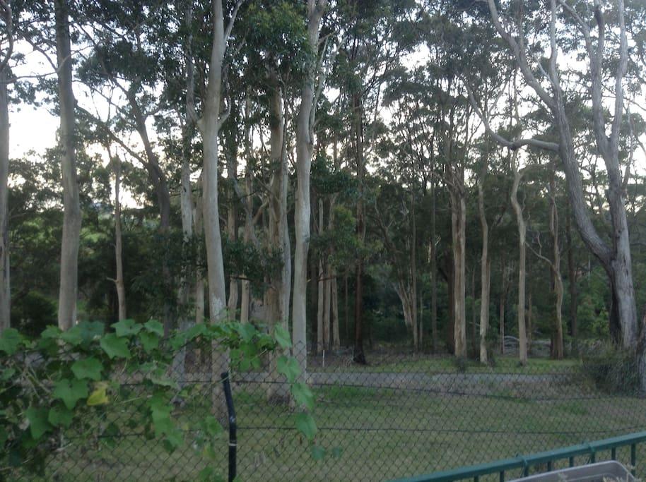 Behind our home, Koala Habitat.