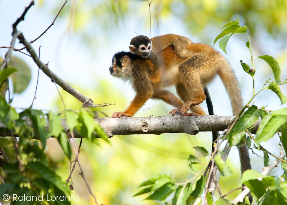 Squirrel monkey photo taken by one of our guests