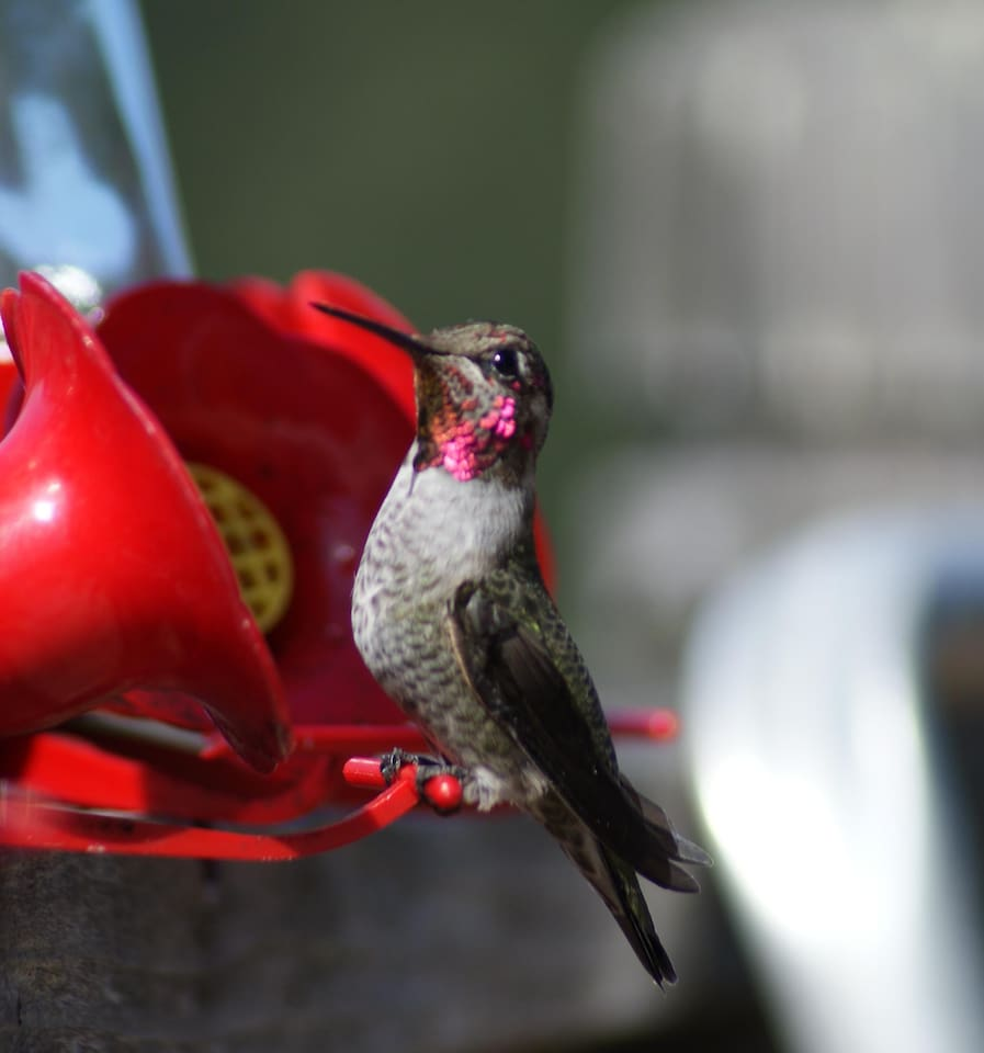 A male Annna Hummer. You're looking a little chubby there, fella.
