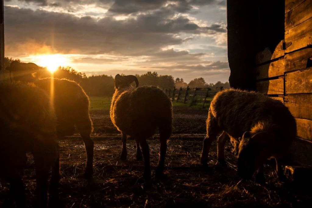 The sheep watch the sun go down
