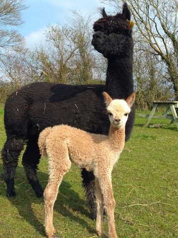 "Hushabye Farm ""Tempting"" and her cria ""Eureka"""