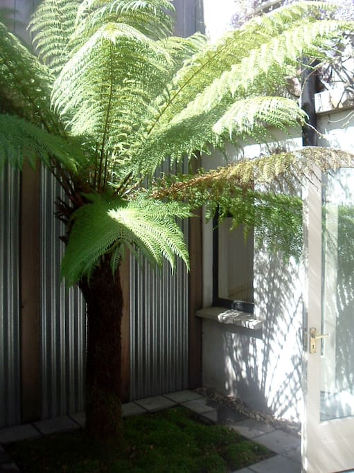 New Zealand Fern in patio garden