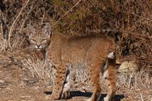 Bobcat, one of the critters you might see on a farm walk.