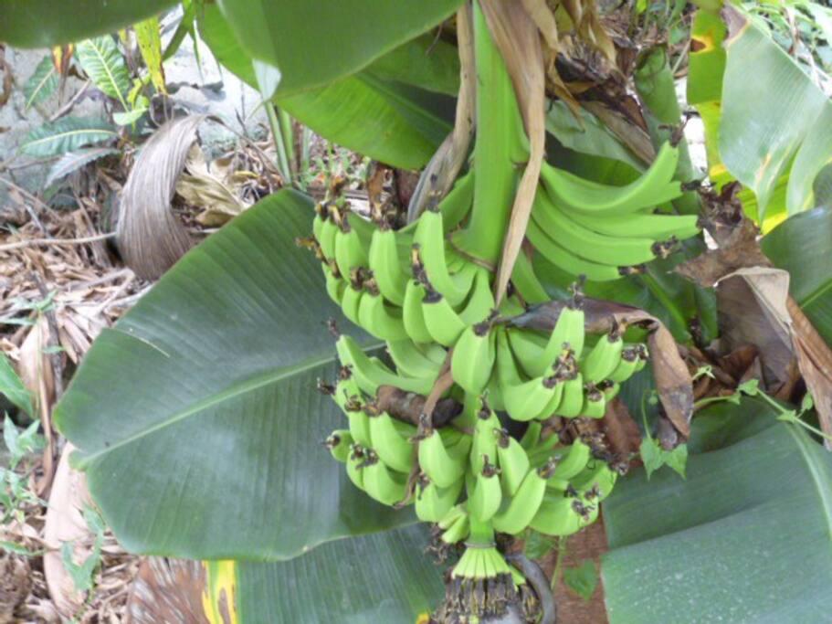 Clover House bananas!