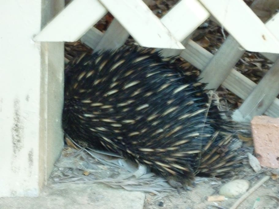 Wild life includes shy echidnas that may visit from the reserve across road