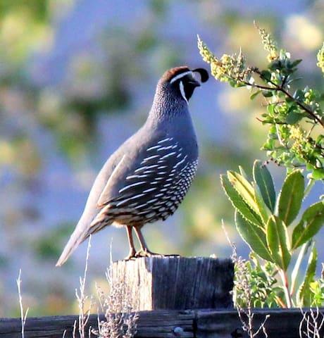 California quail on the fence.