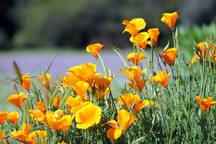 Our state flower, California poppy. In the spring, the field around the windmill is on golden fire!