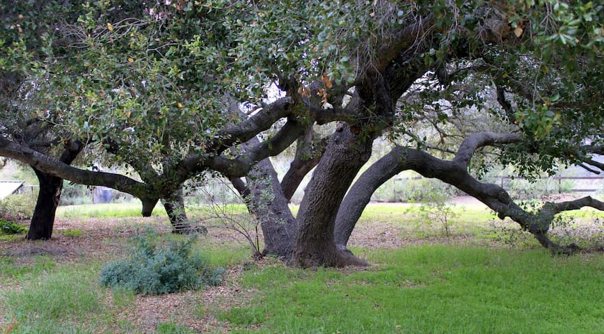 Coastal live oaks create their own cathedral space.