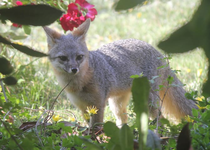 Grey fox right below the deck. She's snacking on loquat fruit here...but has been seen eyeing our chickens.