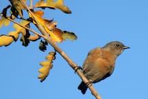 Female bluebird.
