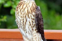 We encourage raptor breeding and encourage them to discourage our rodents!