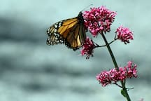 The annual monarch migration flyway goes near the farm, and we get visitors every year.