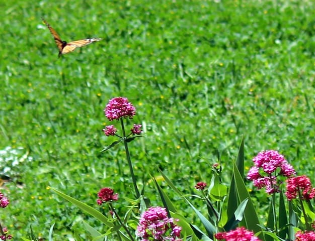 We have a monarch butterfly education program here...and a year-round population of breeding butterflies.