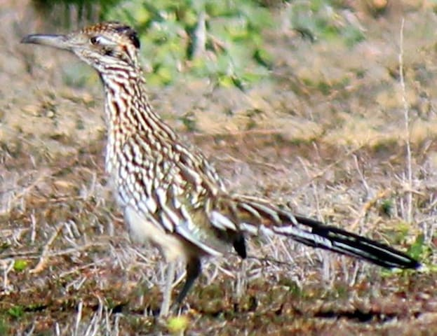 Roadrunner, or coracamino.....our amigos tell us it's good luck to spot one. Beep-beep.