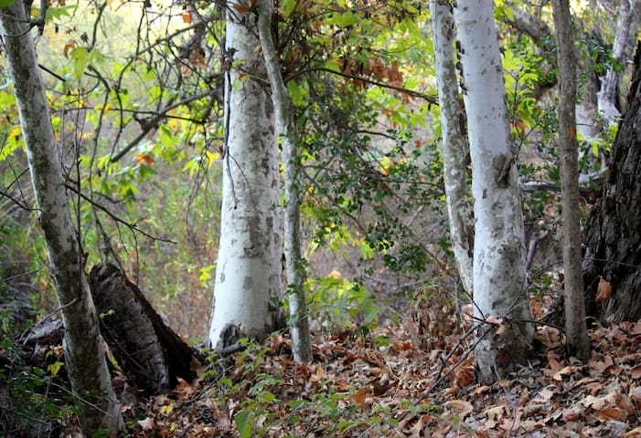 Native sycamores on the River bottom. Easy hike from here.