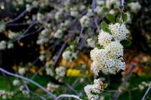 Native mountain lilac