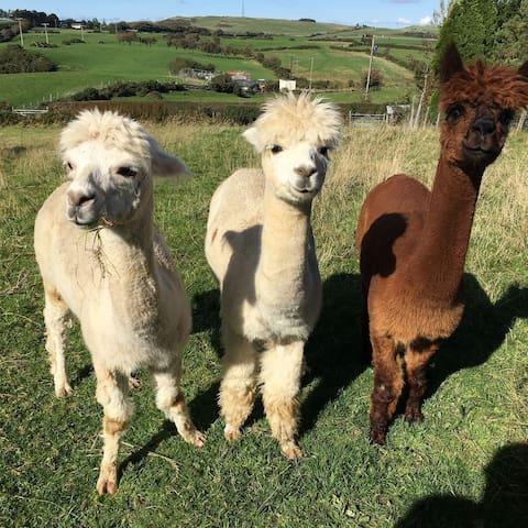 Meet our Alpacas!